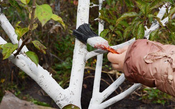 Как правильно побелить деревья в саду осенью | В саду (Огород.ru)