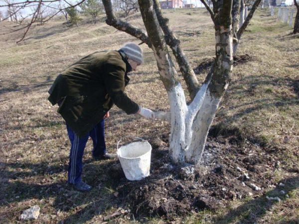 Кто заставил ростовчан в зиму белить деревья?