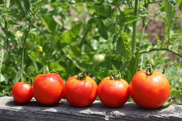 Как собрать семена помидоров в домашних условиях правильно